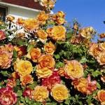 Роза Sahara-Роза Сахара