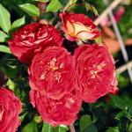 Роза Starlet Rose Carmen-Роза Старлет Роуз Кармен.