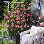 Роза Starlet Rose Eva-Роза Старлет Роуз Ева