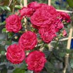 Роза Starlet Rose Melina-Роза Старлет Роуз Мелина