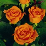 Роза Tea Time-Роза Ти Тайм