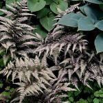 Athyrium_Regal_Red_2