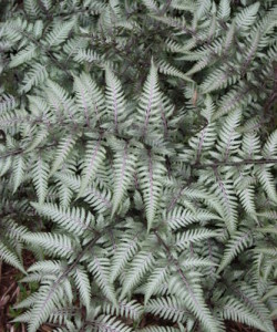 Athyrium_niponicum_Wildwood_Twist