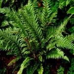 Polystichum_Shiny_Holy_Fern130