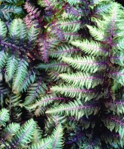 athyrium-niponicum-pewter-lace.i-'Pewter Lace'