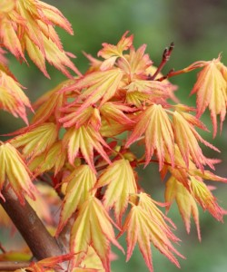 799px-Acer_palmatum_ORANGE_DREAM_photo_file_720KB