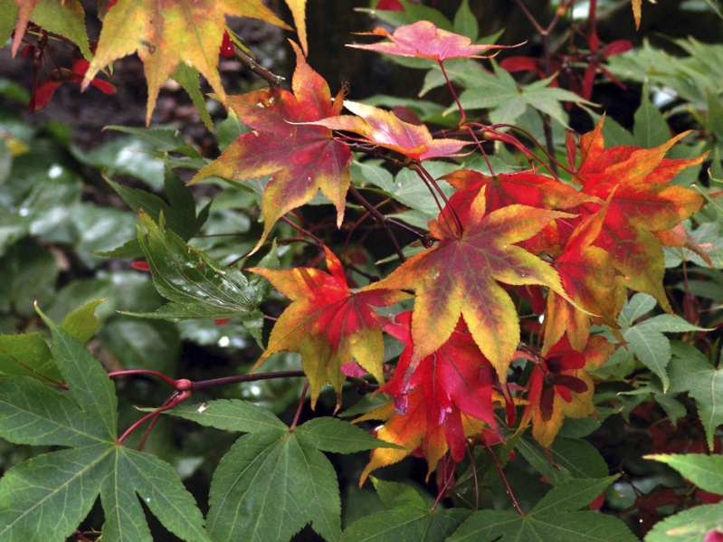 799px-Acer_palmatum_OSAKAZUKI_autumn_leaves_photo_file_705KB
