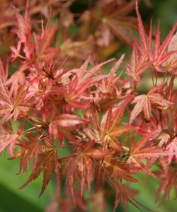 799px-Acer_palmatum_WILSON'S_PINK_DWARF_leaves_photo_file_655KB