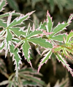 800px-Acer_palmatum_BUTTERFLY_leaves_photo_file_538KB