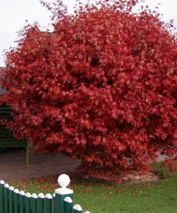 800px-Acer_palmatum_autumnal_tree_photo_file_PDB_169KB