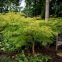 Acer-palmatum-Dissectum-4