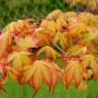Acer palmatum Katsura3