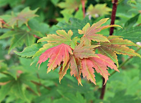 Acer pseudosieboldii-Клен ложнозибольдов.