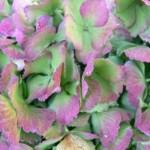 Hydrangea-macr_homigo