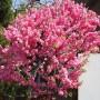 Prunus triloba1
