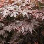 acer-palmatum-atropurpureum_big