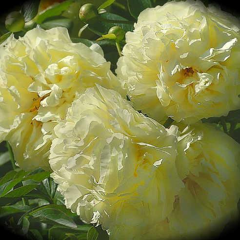 Пион Lemon Chiffon- Пион Лемон Шиффон