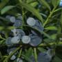 ногоплодник-семена