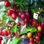 134_elaeagnus_multiflora_4_1
