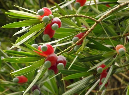 мармеладное дерево фото и описание