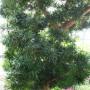 800px-Podocarpus_macrophyllus