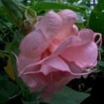 Brugmansia-Angels-Бругмансия Rosalena