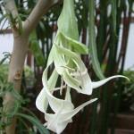 Brugmansia Culebra2