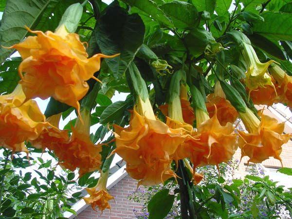 Brugmansia Langenbuscher Garten33