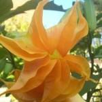 Brugmansia Morgensonne