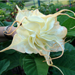 Brugmansia x candida f. plena 'ANGELS SUMMER TIME'