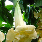 Brugmansia. x candida f. plena 'Angels Love'