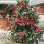 Camellia japonica Adolphe Audusson 1