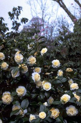 Camellia japonica Jury's Yellow - Камелия японская  Jury's Yellow