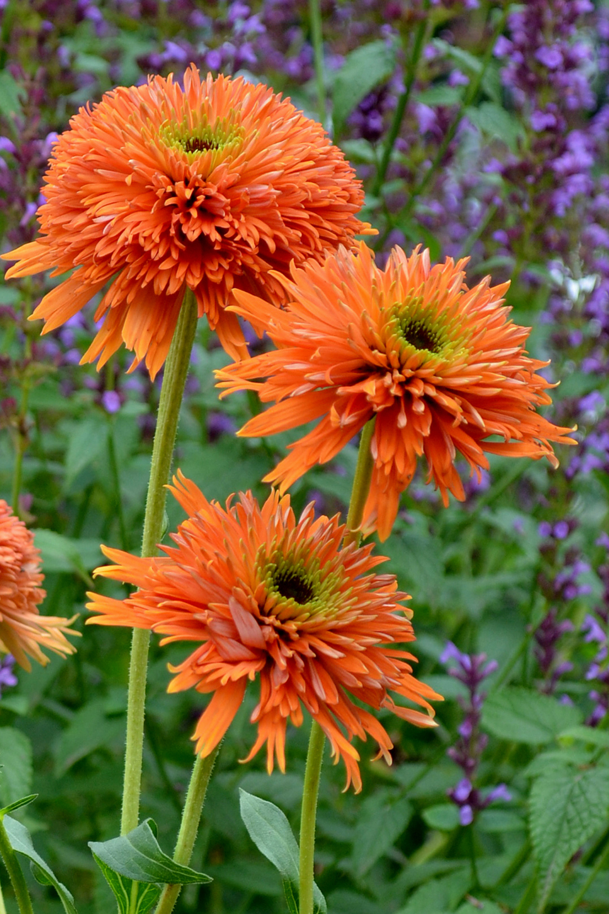 Echinacea_Colorburst_Orange_1b-2