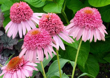Echinacea_Meteor_Pink