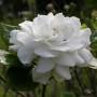 Gardenia_jasminoides_var_fortuneana_2