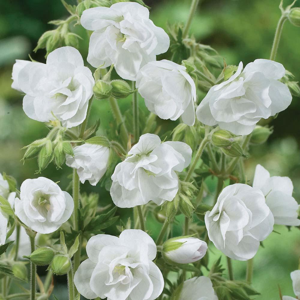 Hardy Geranium pratense 'Laura'