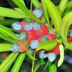 Podocarpus-nakaii-fruits
