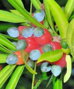 Podocarpus-nakaii-fruits