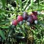 Podocarpus_macrophyi800fra