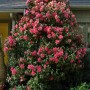 camellia-donation-je