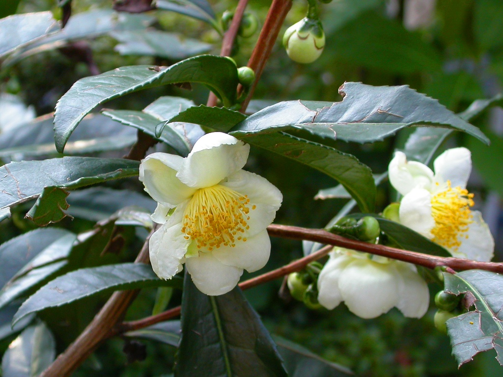 camellia-sinensis-dxn-gano-spica-thea