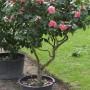camellia-soins-4-big