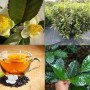 camelliasinensis4