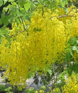 golden_shower_tree_20120322_01
