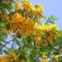 карликовая форма желтая