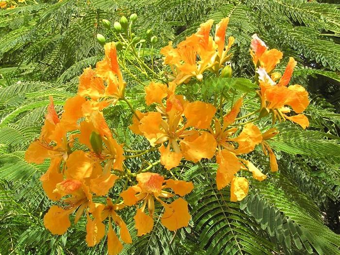 Делоникс королевскийDelonix regiaОгненное дерево