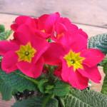 Primula-Pink-Yellow
