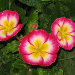 Primula-Red-White