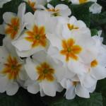 Primula-White